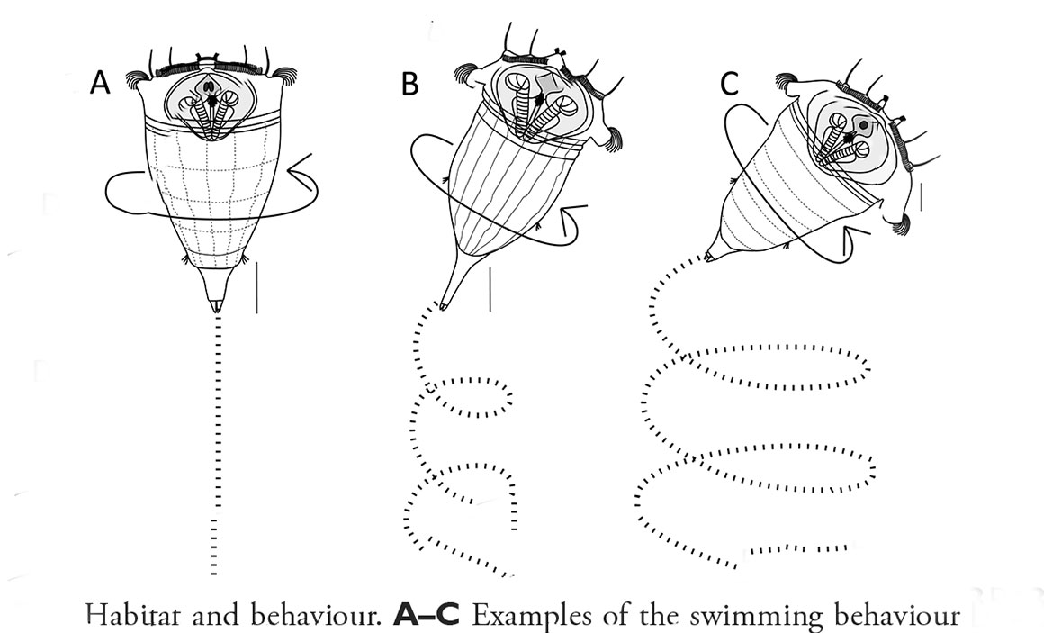 Swimming bechaviour Synchaeta rotifers