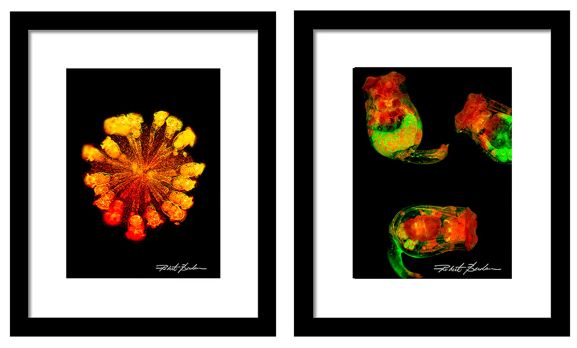 Rotifers as Art - framed pictures of rotifers for sale by Robert Berdan ©
