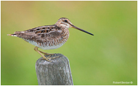 Common Snipe Robert Berdan ©