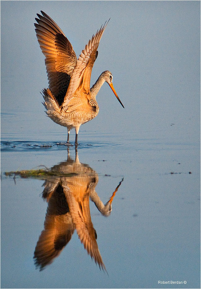 Marbled Godwit and reflection by Robert Berdan ©