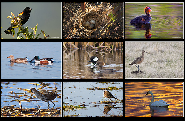 Red Winged blackbird, eggs and nest, baby coot, Northern shovelers, Hooded Mergansers, Long billed curlew, Sora, Killdeer and Trumpeter Swan by Robert Berdan ©
