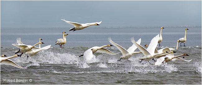 Tundra Swans on Ghost Lake taking off by Robert Berdan ©