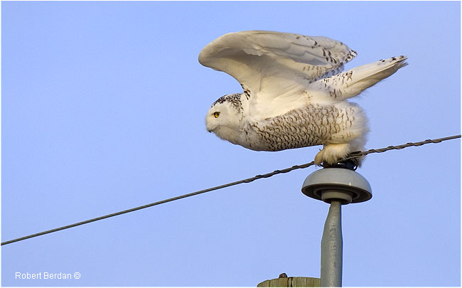 Snowy owl getting ready to take off from a telephone pole by Robert Berdan ©