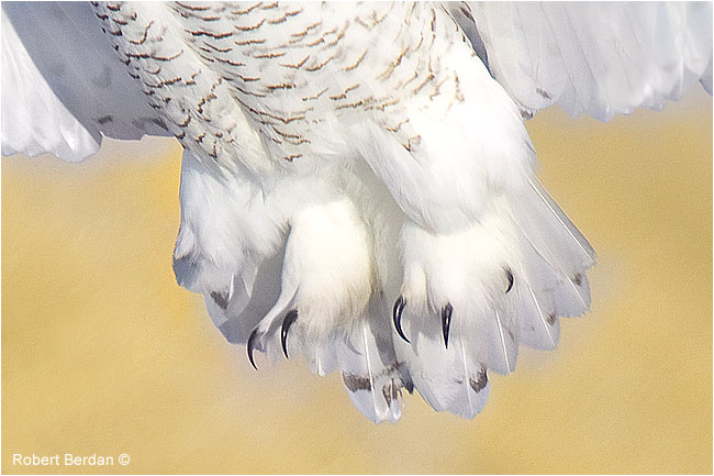 Closeup of feet and talons from a snowy owl by Robert Berdan