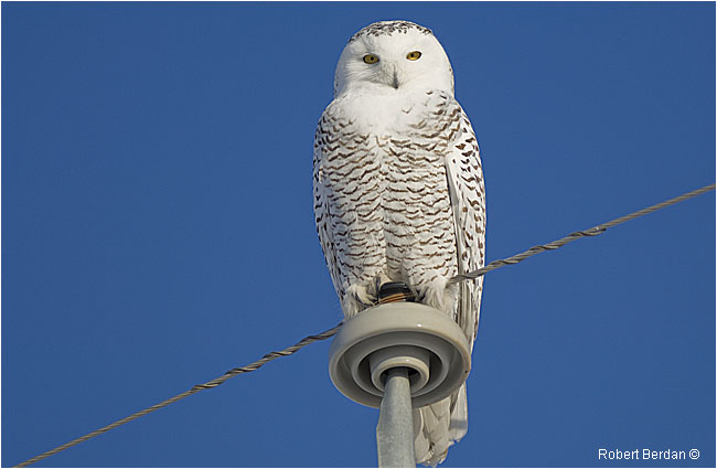Female snowy owl on top of a telephone pole by Robert Berdan ©