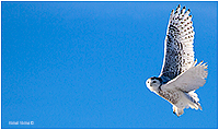 Snowy Owl in flight by Kamal Varma ©
