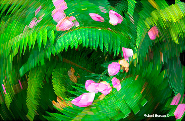 Rose petals on ferns and star trail filter by Robert Berdan ©