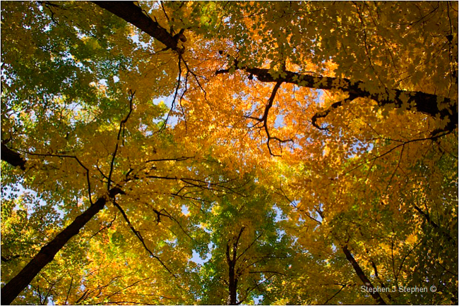 Fall colours maple canopy by Stephen J. Stephen ©
