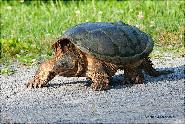 Snapping Turtle by Stephen J. Stephen ©