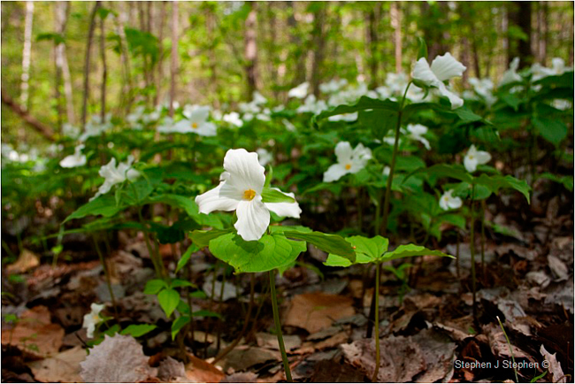 White Trilliums by Stephen J. Stephen ©