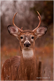 White tail buck by Stephen J. Stephen ©