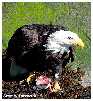Bald Eagle with kill by Steve Williamson ©
