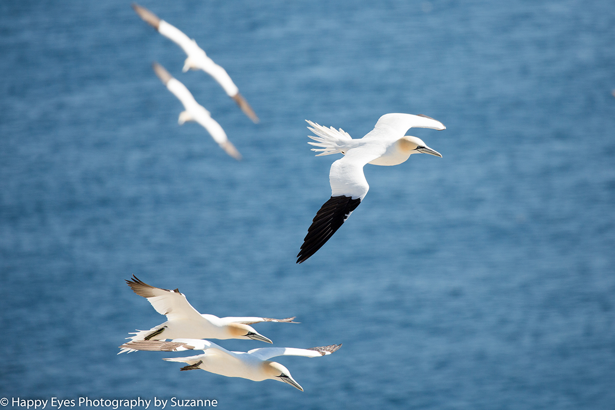Gannets in flight by Suzzane Roberts ©