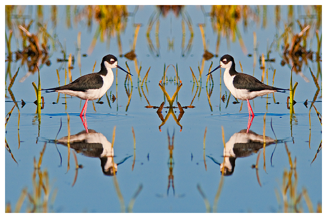 Black neced stilts bilateral symmetry by Robert Berdan