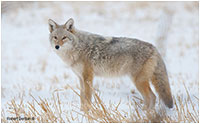 Coyote taken with Tamron's 16-600 mm lens by Robert Berdan ©