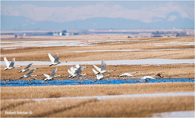 Tundra swans in slough south of Calgary, AB by Robert Berdan ©