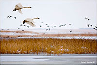 Tundra swans in flight at Frank Lake, Alberta by Robert Berdan ©