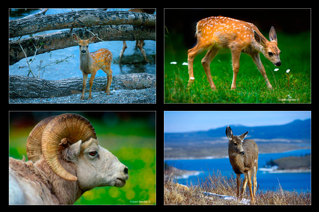 Montage of photographs showing baby deer, Bighorn sheep and mule deer by Robert Berdan ©