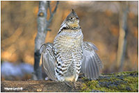 Ruffed Grouse Dr. Wayne Lynch ©
