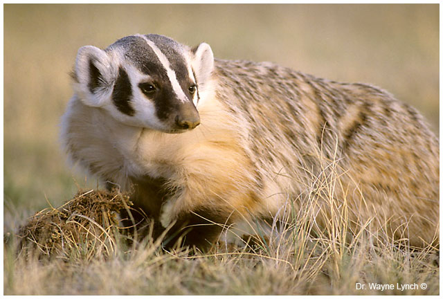 Badger by Dr. Wayne Lynch ©