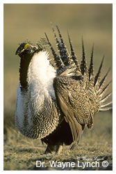 Greater Sage Grouse by Dr. Wayne Lynch ©