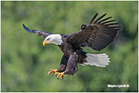 Bald eagle in flight by Wayne Lynch ©