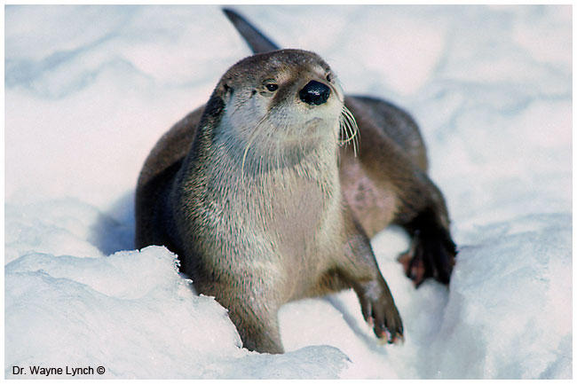 River otter in the snow by Dr. Wayne Lynch ©