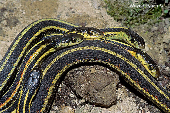 Courting Red-sided Garter Snakes by Dr. Wayne Lynch ©