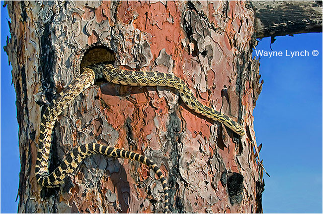 Hunting Gopher snake, BC by Dr. Wayne Lynch ©