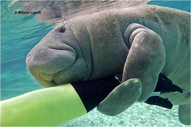 Florida Manatee holding on to arm by Dr. Wayne Lynch ©