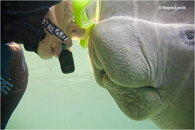 Manatee Whisperer Dr. Wayne Lynch and Manatee touch noses by Wayne Lynch ©
