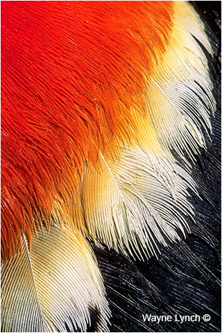 Red-Winged Blackbird Wing Plumage by Dr. Wayne Lynch ©