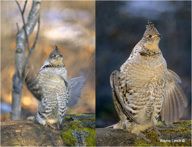 Drumming male ruffed grouse by Dr. Wayne Lynch ©
