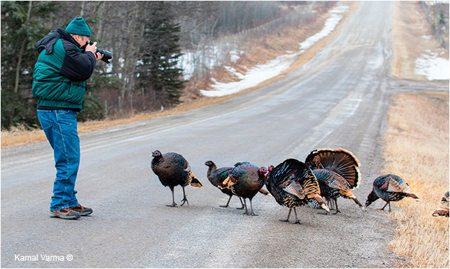 Wild Turkeys attracted to Nature photographer by Kamal Varma ©