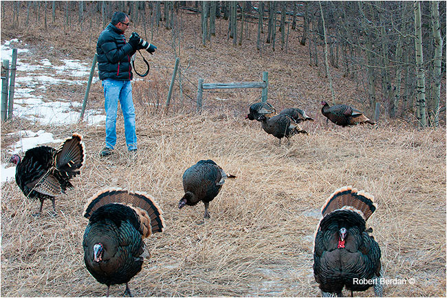 Photographer surrounded by Wild Turkeys by Robert Berdan ©