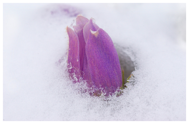 http://www.canadiannaturephotographer.com/wildflowers/rberdan_crocus_snow.jpg