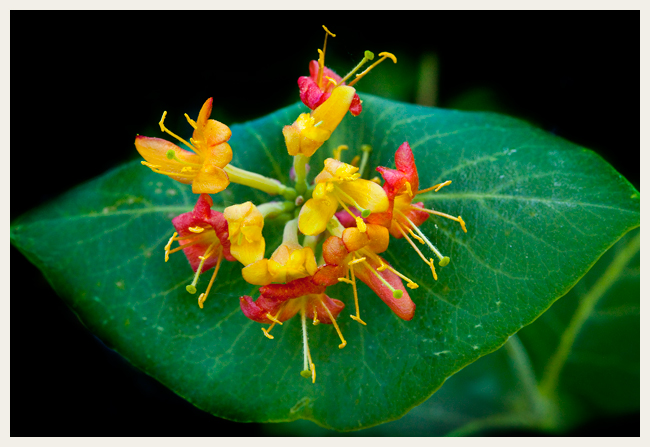 Limber Honeysuckle Lonicera dioica by Robert  Berdan ©