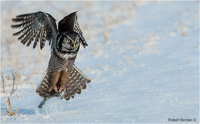 Nothern Hawk Owl picking up a mouse by Robert Berdan ©