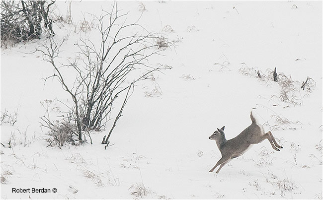 white tail deer leaps through the snow by Robert Berdan
