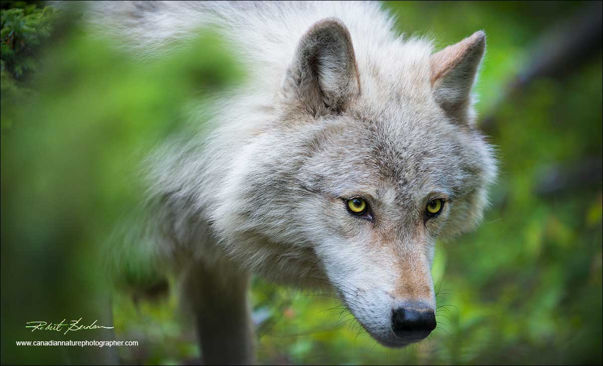 Head shot of wolf by Robert Berdan ©