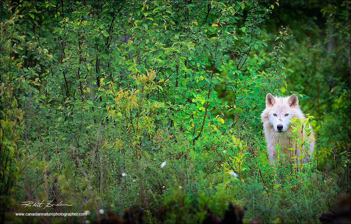 Wolf looking out of the bush by Robert Berdan ©