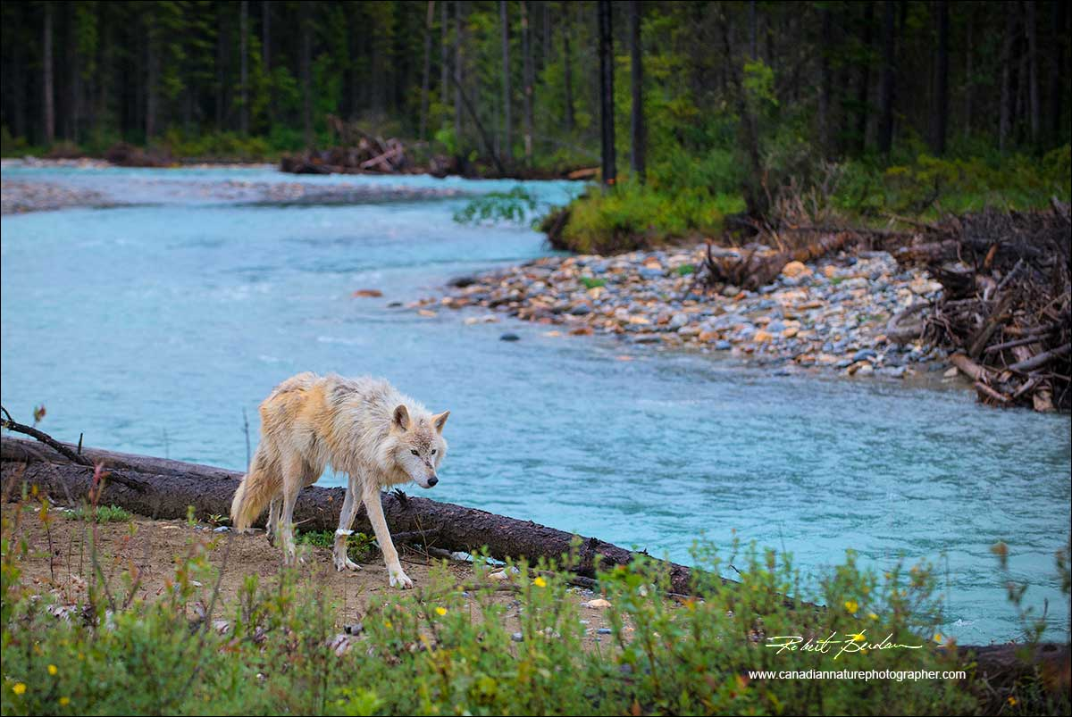 Wolf along Blaeberry river by Robert Berdan ©