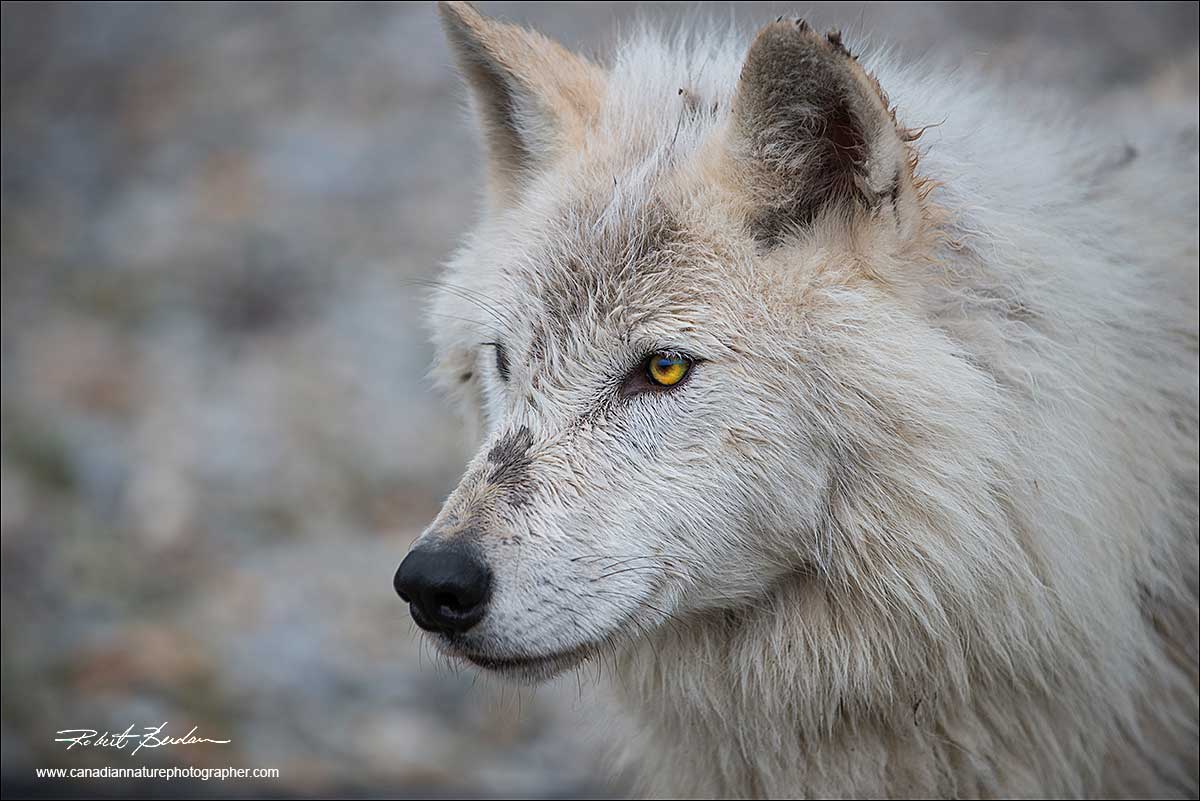Head shot of a white wolf by Robert Berdan ©