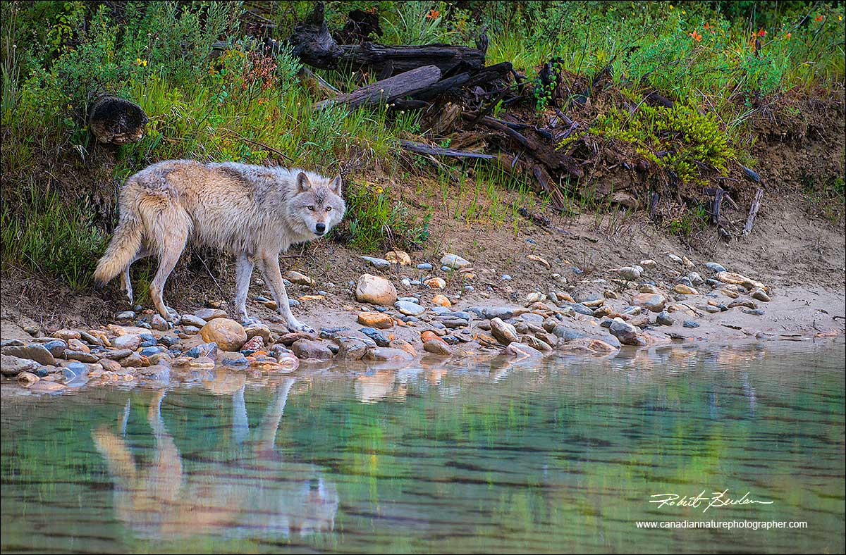 Wolf and reflection in river by Robert Berdan ©