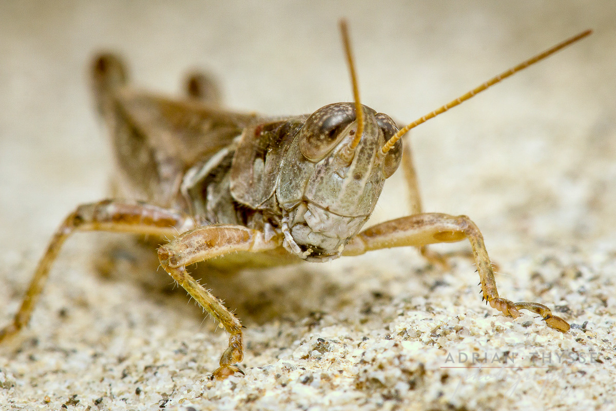 Migratory grasshopper (Melanoplus sanguinipes)  by Adrian Thysee ©