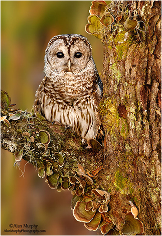 Barred Owl by Alan Murphy ©