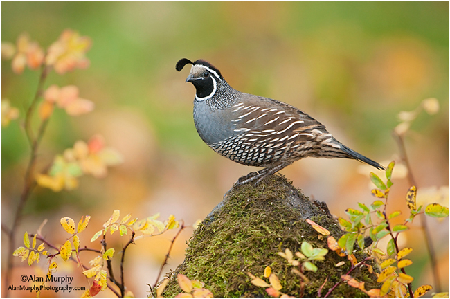 California Quail by Alan Murphy ©
