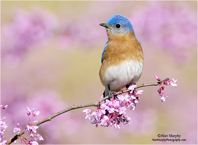 Eastern Bluebird by Alan Murphy ©