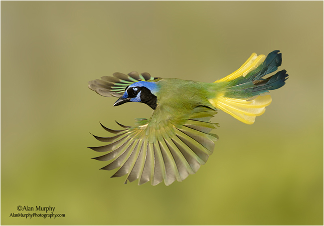 Green Jay by Alan Murphy ©