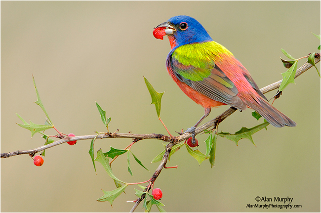 Painted Bunting by Alan Murphy ©